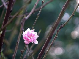 Peach Blossom 2 by kentnek