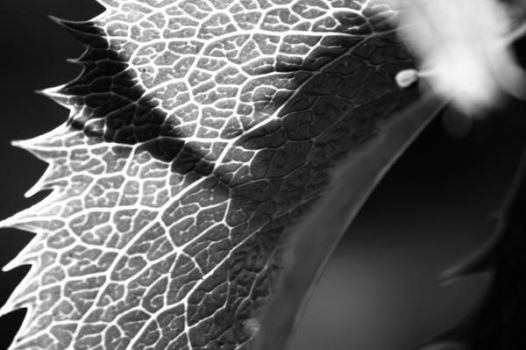 Another Leaf B+W by PonderStibbons