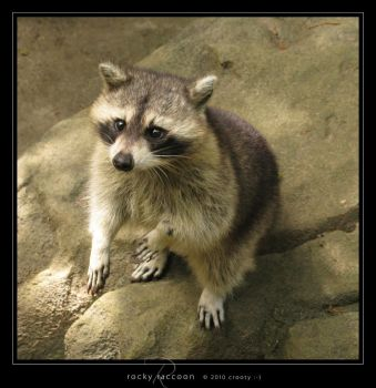 Rocky Raccoon by Crooty