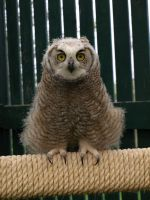 Pale the Great Horned Owl by KodaSilverwing