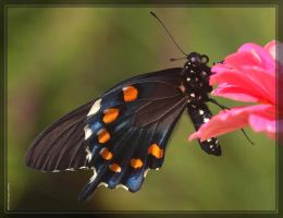 PipevineSwallowtail 40D0023456 by Cristian-M
