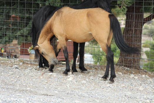 Buckskin Mustang Mare and Black Stallion by thetriggeredhipster