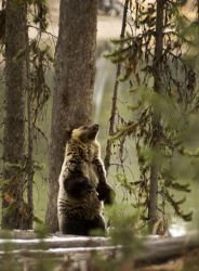 Grizzly scratching his back by Minorhero