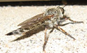 Robber Fly by shadowfire-x
