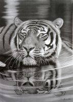 Cool for Cats.... Pencil drawing by StephenAinsworth