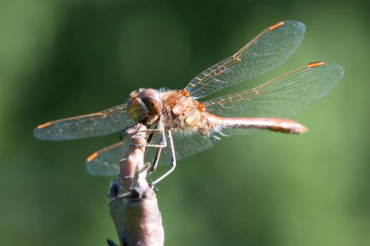 The Karaoke Dragonfly by QuadWord