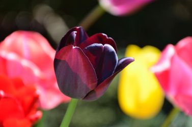 TWO TONE TULIP by major-holdups