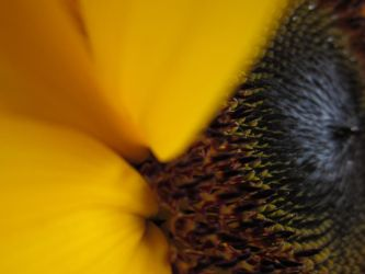 Girasol Zoom 1 by mariapalitos68