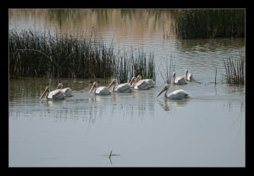 Pelican Flock by kalany