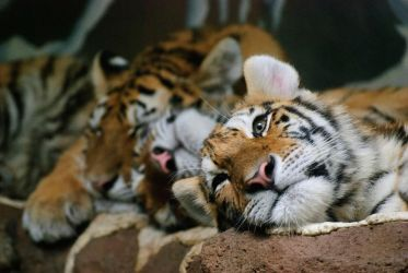 Tiger Nap Time by smsldoo