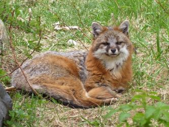 Violet the Gray Fox by DaybreaksDawn