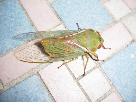 cicada the cat dragged in 1 by zenkatydid