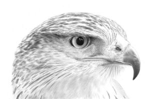 Hawk by PencilSessions