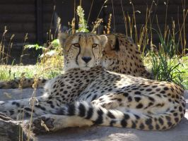 Lounging Cheetah by shinigamisgem