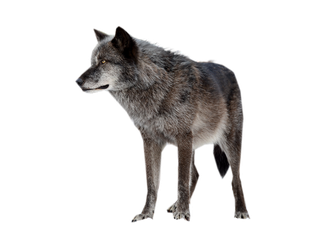 WOLF PNG by ScyllaWolf