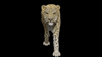 Leopard walk animation by JohnWulffe