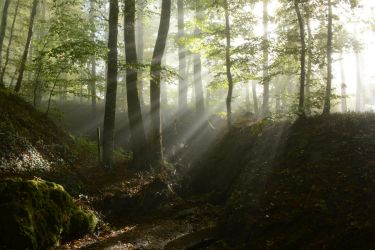 Foggy Forest 2 by SelvaStock