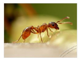 Any Ant by albatros1
