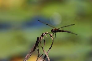 Dragonfly by the pond by courtneytartan