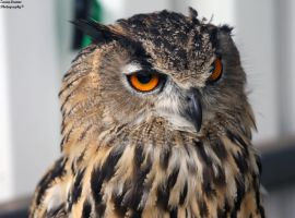 Eagle Owl (2) by ZaraaLeanne