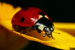 Ladybug on Yellow II by dalantech