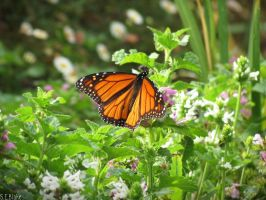 monarch butterfly 4 by kiwipics