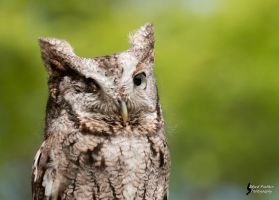 Screech Owl 3 by EdgedFeather