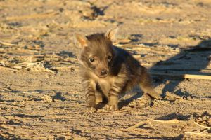 brown hyena pup 2 by DoWnHIller