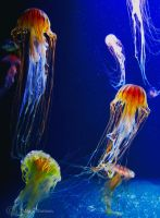 Jellyfish 2 by Moonbird9