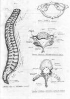 Spine and vertebrae by FATRATKING