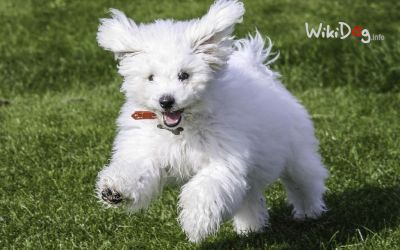 Sweet bichon by wikidog