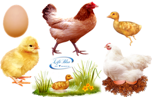 Chicks and chickens - PNG by lifeblue