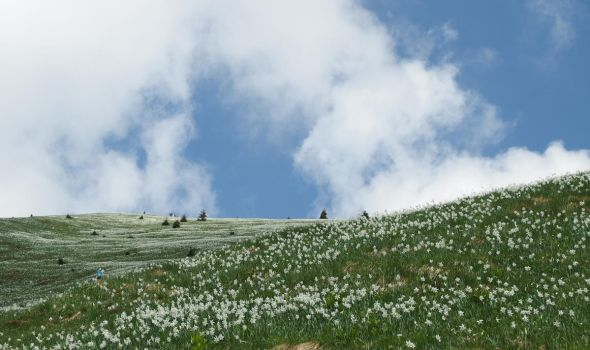 The mountain of daffodils by DevilishEvelyn
