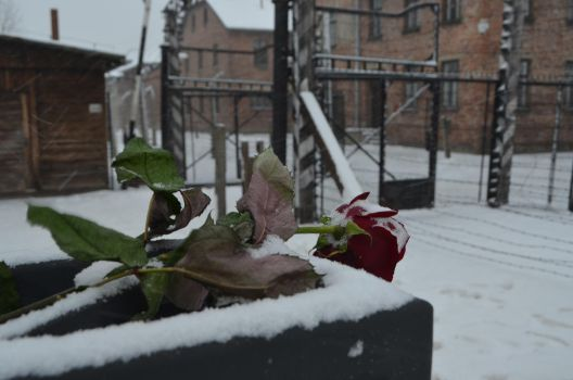 A Rose For Auschwitz by MsDeGraeve