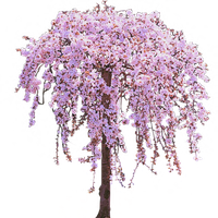 Pink Weeping Cherry Tree in Bloom by LilipilySpirit