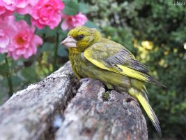 male greenfinch by kiwipics