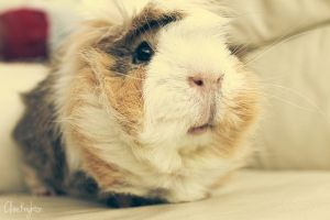 One of my many guinea pigs, Dec by Clerdy