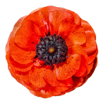 Red Ranunculus PNG by Bunny-with-Camera
