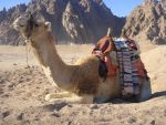 Camel 1 by magikstock