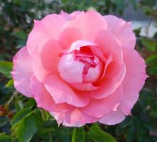 Pink Rose in Bloom by ShipperTrish