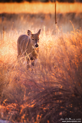 Deer In Golden Hour Light by kkart