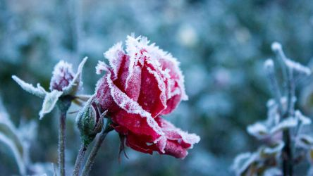 Frosty rose by SilentWaughrior