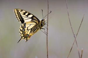 papilio machaon 2009 by mescamesh