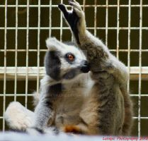RING TAILED LEMUR (Lemur catta) by Lunapic