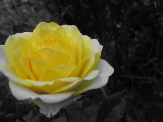 Yellow Rose by MidnaXX-231