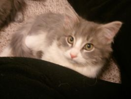 Gray and White Kitten by Acedia-Homunculus