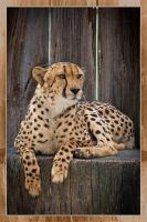 Cheetah by colony26