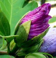 Rose Of Sharon Bud by PridesCrossing