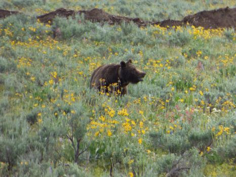 Grizzly Bear at Grand Teton National Park by Geotripper