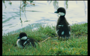 Common Goldeneye Ducklings by littlemewhatever